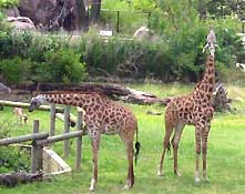 virginia zoo giraffes