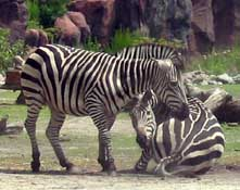 virginia zoo zebras